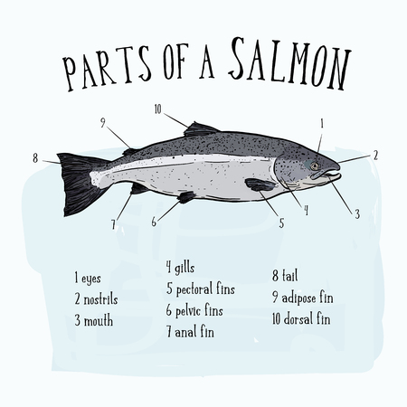 Diagram showing parts of salmon illustration - hand draw sketch Vector
