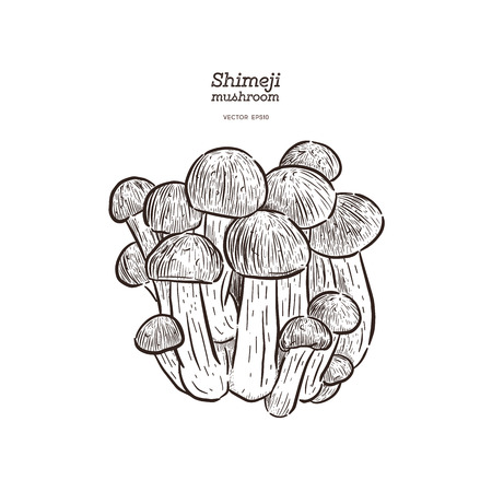 Hand drawing a gourmet mushroom Shimeji. Style Vintage engraving. Vector illustration art. Isolated objects of nature. Cooking food design. - Vector - Vector