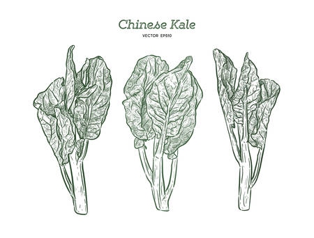 Chenese Kale or Chinese broccoli, vegetable. hand draw sketch vector. Illustration
