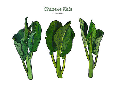 Chenese Kale or Chinese broccoli, vegetable. hand draw sketch vector. Ilustracja