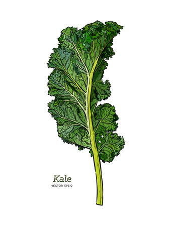 Kale, Hand draw sketch vector. Vegetable.