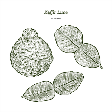 Kaffir Lime, Hand draw sketch vector. 向量圖像