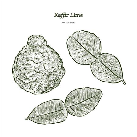 Kaffir Lime, vector de boceto de sorteo de mano.