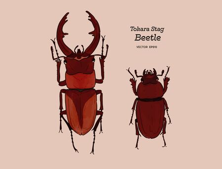 Tokara red stag beetle (Prosopocoilus dissimilis) in Tokara Island, Japan. hand draw sketch vector. Male and female.