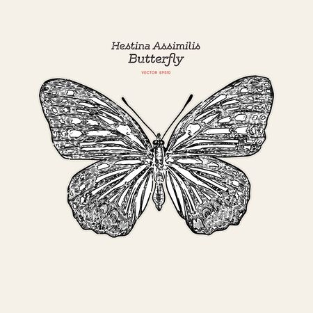 Beautiful colorful Hestina Assimilis butterfly, hand draw sketch vector. Illustration