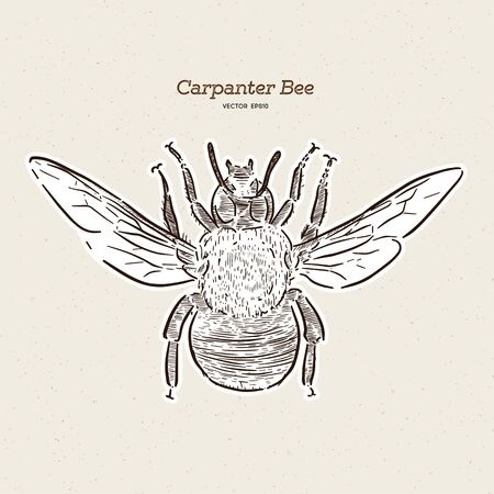 carpenter bee, vintage engraved illustration. - Vector