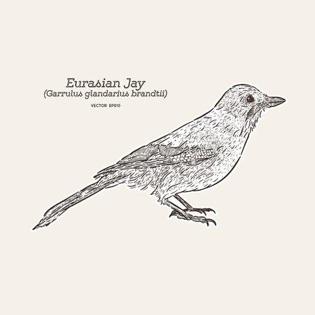 Eurasian Jay (Garrulus glandarius) . hand draw sketch vector. Illustration