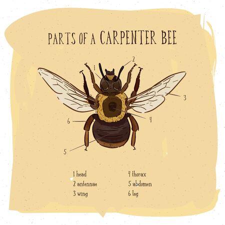 Part of carpenter bee, vintage engraved illustration. - Vector