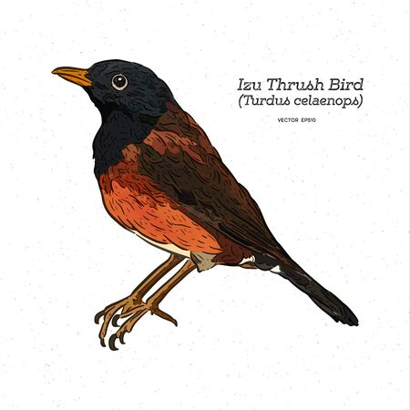 Izu Islands thrush (Turdus celaenops) bird, hand draw sketch vector.