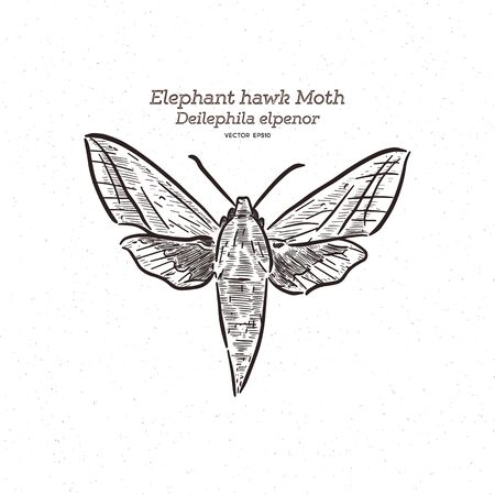 Deilephila elpenor, the elephant hawk moth, hand draw sketch vector.  イラスト・ベクター素材