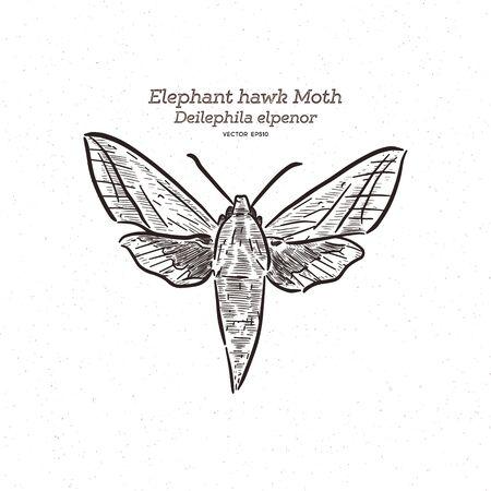 Deilephila elpenor, the elephant hawk moth, hand draw sketch vector. Illustration