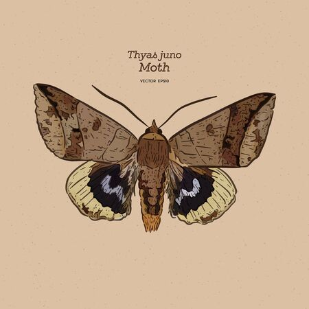 Thyas juno is a species of moth of the family Noctuidae. hand draw sketch vector.