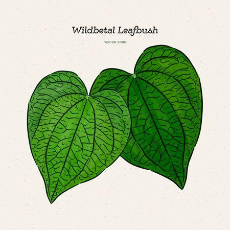 Wildbetal Leafbush, tropical leaves.Drawing vector illustration Illustration