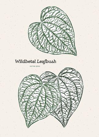 Wildbetal Leafbush, tropical leaves.Drawing vector illustration  イラスト・ベクター素材