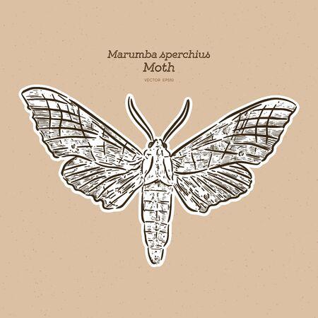マルンバ・スペルキウスはスフィンギダ科の蛾の種である。手描きスケッチベクトル。  イラスト・ベクター素材