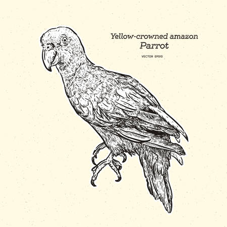 The yellow-crowned amazon or yellow-crowned parrot (Amazona ochrocephala) is a species of parrot. Hand draw sketch vector.