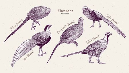 Pheasant  Collection, hand draw sketch vector.