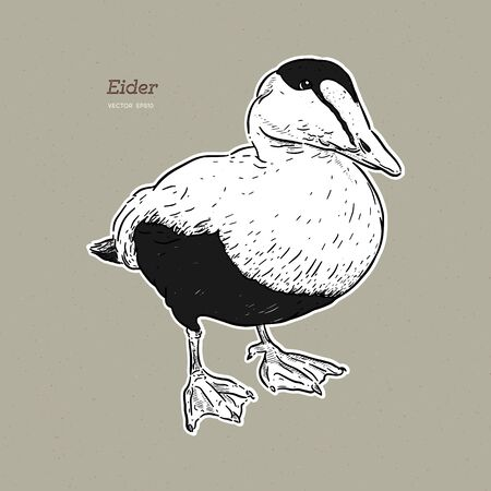 Eider Duck is a large sea duck, vintage line drawing vector. Illustration