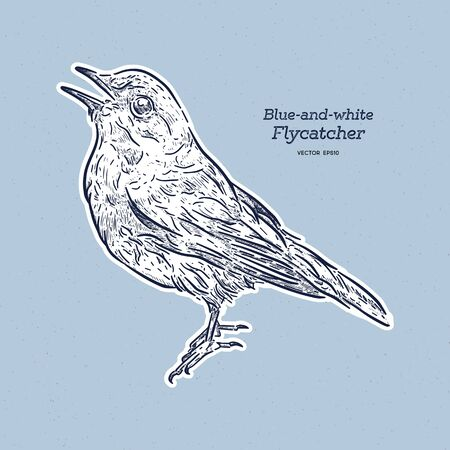 Blue-and-white Flycatcher (Cyanoptila cyanomelana), hand draw sketch vector.