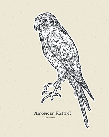 The American kestrel (Falco sparverius) is the smallest and most common falcon in North America. Hand draw sketch vector.