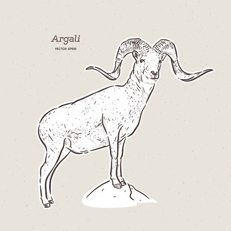 The argali, or the mountain sheep (species Ovis ammon), hand draw sketch vector.
