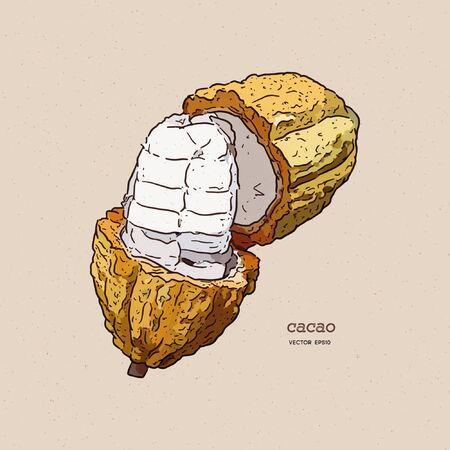 Cocoa beans illustration, hand draw sketch vector.  イラスト・ベクター素材