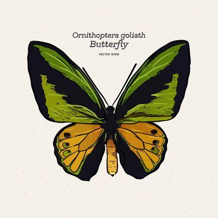 Farfalla di Ornithoptera golia, vettore di schizzo di tiraggio della mano.