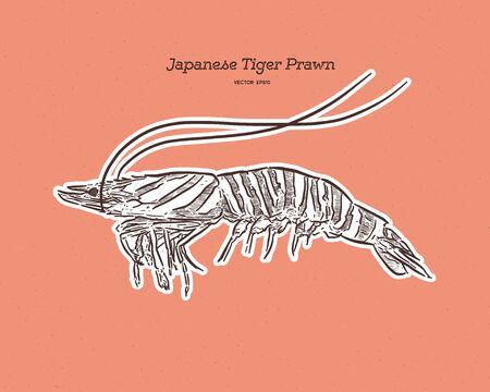 Marsupenaeus japonicus, known as the kuruma shrimp, kuruma prawn, or Japanese tiger prawn, hand draw sketch vector. Ilustração