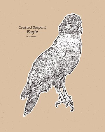 The crested serpent eagle (Spilornis cheela) is a medium-sized bird of prey that is found in forested habitats across tropical Asia. Hnad draw sketch vector. Ilustração