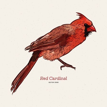 The northern cardinal (Cardinalis cardinalis) is a bird in the genus Cardinalis; it is also known colloquially as the redbird, common cardinal or just cardinal, hand draw sketch vector.