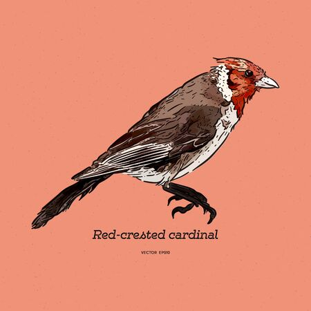 Red-crested cardinal, Paroaria coronata, single bird. hand draw sketch vector.