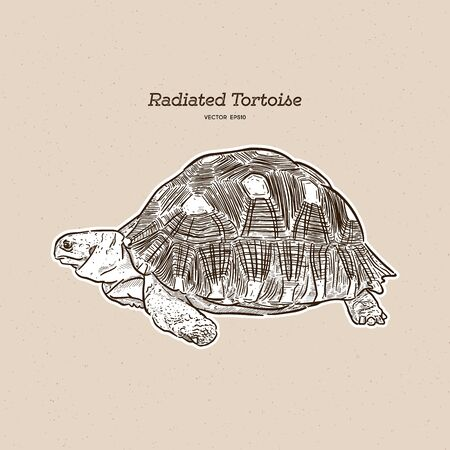 The radiated tortoise is a species in the family Testudinidae. Hand draw sketch vector. Imagens - 136954641