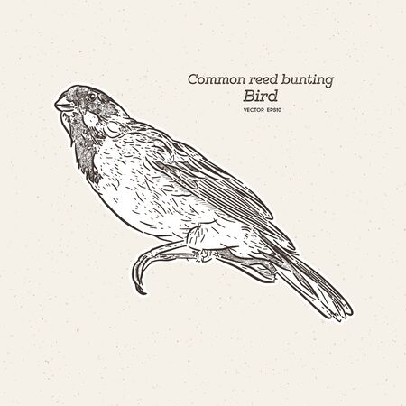 The common reed bunting is a passerine bird in the bunting family Emberizidae, hand draw sketch vector.