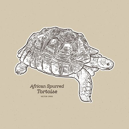 The African spurred tortoise is the largest mainland tortoise, hand draw sketch vector. Ilustração