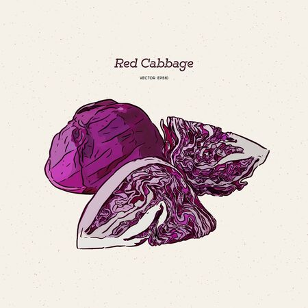 red cabbage, hand draw sketch vector. 일러스트