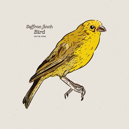 The saffron finch (Sicalis flaveola) is a tanager from South America, Hand draw sketch vector.