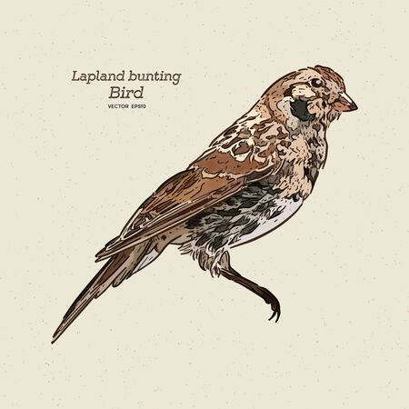 The Lapland longspur (Calcarius lapponicus), also known as the Lapland bunting, hand draw sketch vector.