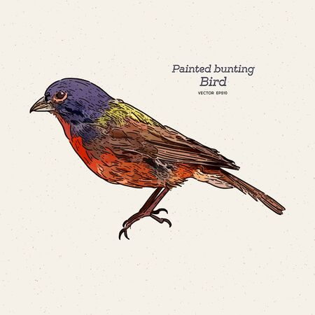 The painted bunting (Passerina ciris) is a species of bird in the cardinal family, Cardinalidae, hand draw sketch vector.