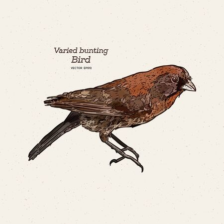 The varied bunting (Passerina versicolor) is a species of songbird in the cardinal family, Cardinalidae. Hand draw sketch vector.