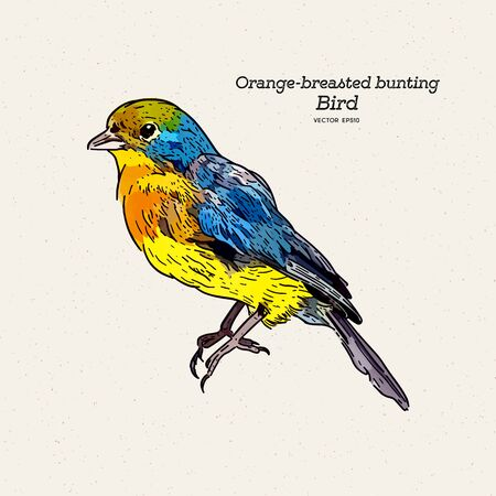The orange-breasted bunting is a species of passerine bird in the family Cardinalidae. hand draw sketch vector.