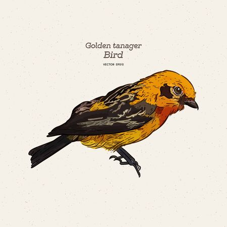 The golden tanager is a species of bird in the family Thraupidae. Hand draw sketch vector.