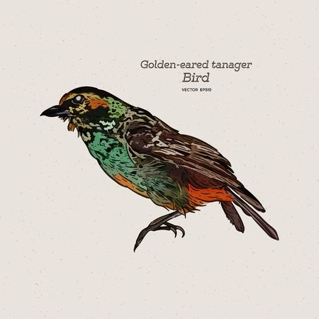 The golden-eared tanager is a species of bird in the family Thraupidae. Hand draw sketch vector.