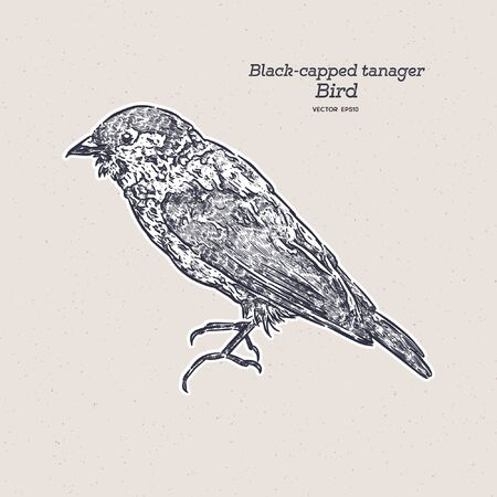 The black-capped tanager (Tangara heinei) or sometimes found under Stilpane heinei, is one of the many species of Neotropical bird in the family Thraupidae. Hand draw sketch vector. Illustration