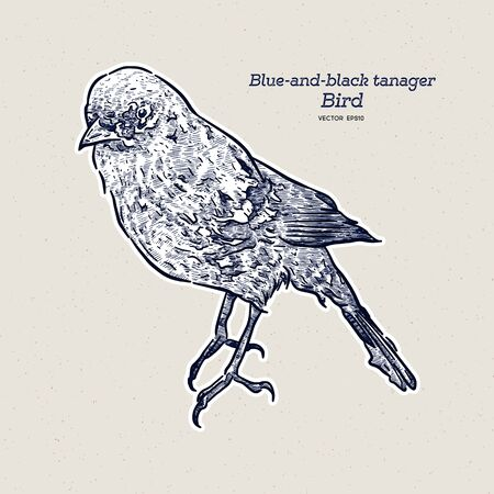 The blue-and-black tanager (Tangara vassorii) is a species of bird in the family Thraupidae. Hand draw sketch vector.