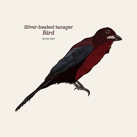 The silver-beaked tanager is a medium-sized passerine bird. Hand draw sketch vector.