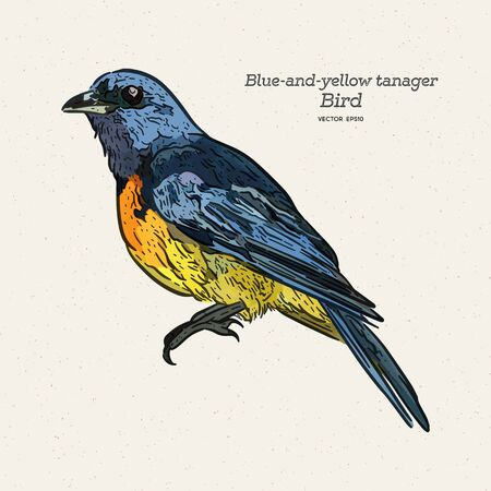 The blue-and-yellow tanager is a species of bird in the family Thraupidae, the tanagers. Hand draw sketch vector. Illustration