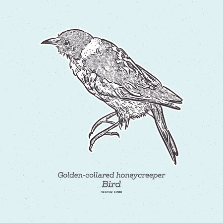 Golden-collared Honeycreeper - Iridophanes pulcherrimus, beautiful rare perching bird from western Andean slopes, Amagusa, Ecuador. Hand draw sketch vector. 向量圖像