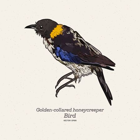 Golden-collared Honeycreeper - Iridophanes pulcherrimus, beautiful rare perching bird from western Andean slopes, Amagusa, Ecuador. Hand draw sketch vector. Illustration