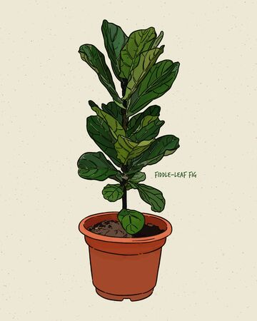Ficus lyrata, commonly known as the fiddle-leaf fig, is a species of flowering plant in the mulberry and fig family Moraceae. Hand draw sketch vector.