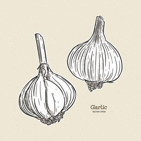 Garlic, hand draw sketch vector. 向量圖像